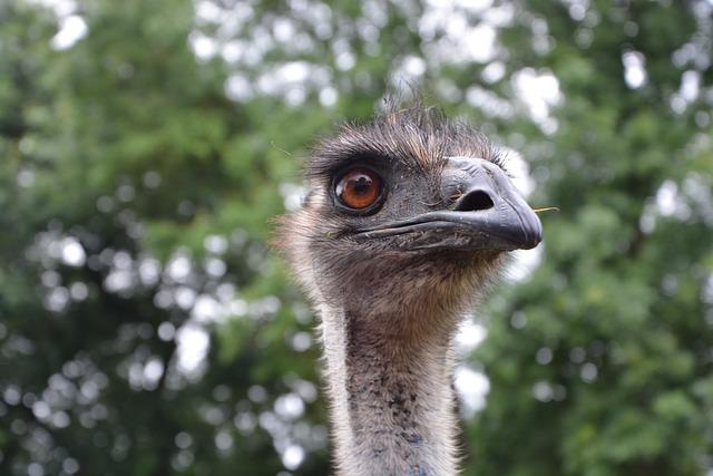 Emu, Head Profile, Head Emu, Brown Eyes, Zoo, Nature