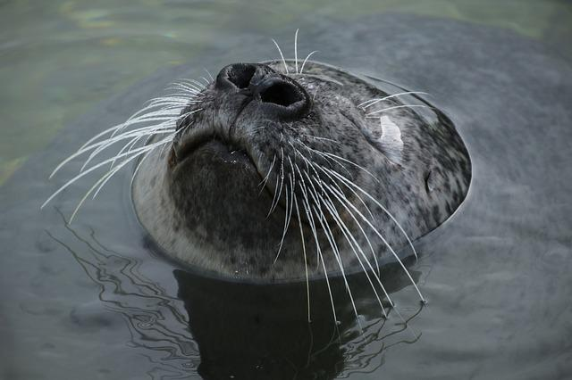 Seal, Robbe, Head, Water, Enjoy, Swim