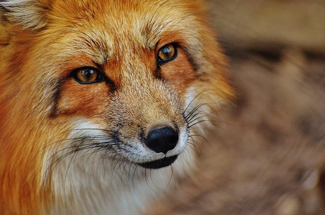 Red Fox, Animal, Wildlife, Fox, Face, Head, Mammal, Zoo