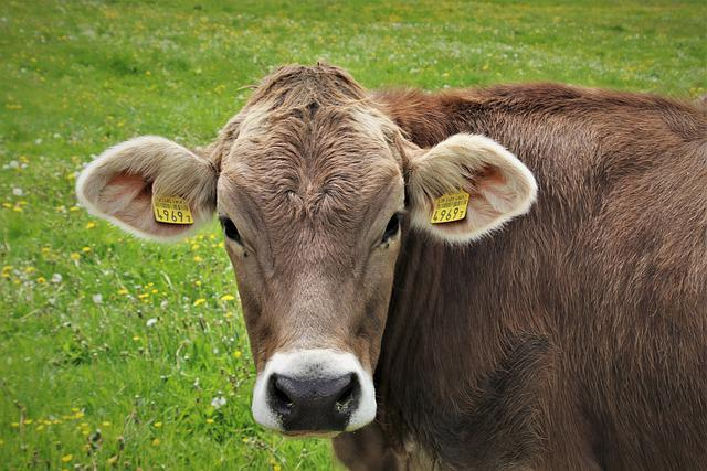 Alpine Meadows, Cows, Brown, Grazing, Look, Head