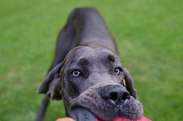 Dog, Great Dane, Head