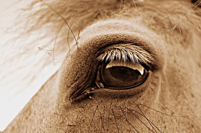 Eye, Horse Eye, Head, Horse Head, Equine, Lashes