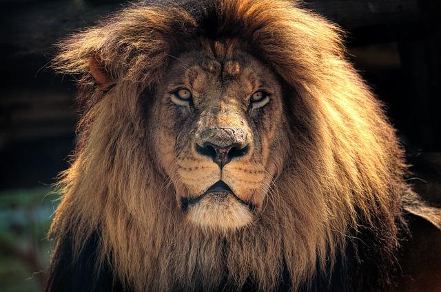 Lion, Africa, Nature, Wildlife, Kruger, Head, King