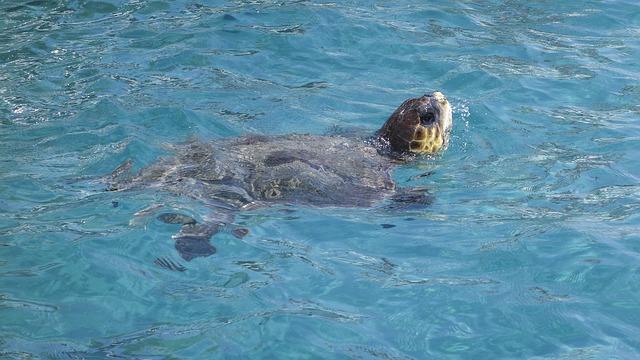 Turtle, Head, Head Looking Out Of Water, Water Turtle