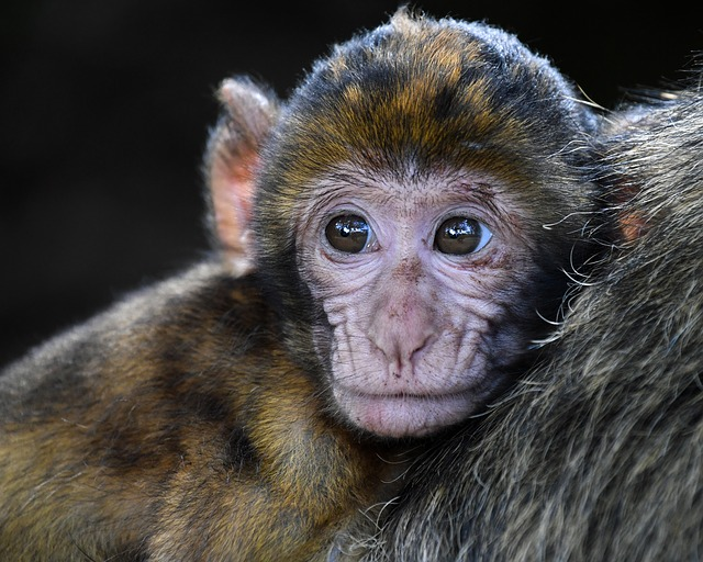 Monkey, Baby, Barbary Macaque, Look, Head, Magot