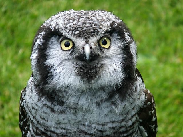 Bird Of Prey, Birds Eye, Feathers, Head, Nature, Owl