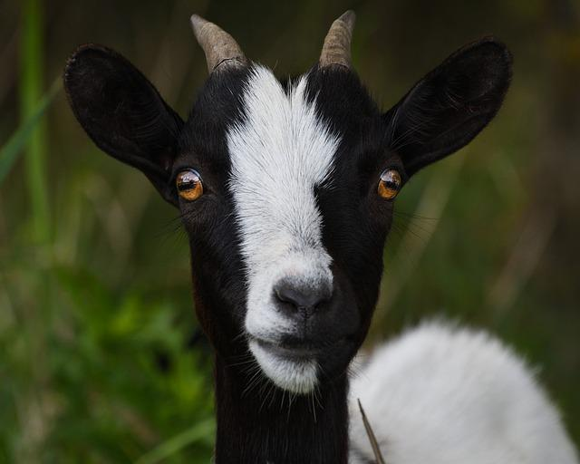 Goat Look Portrait Head