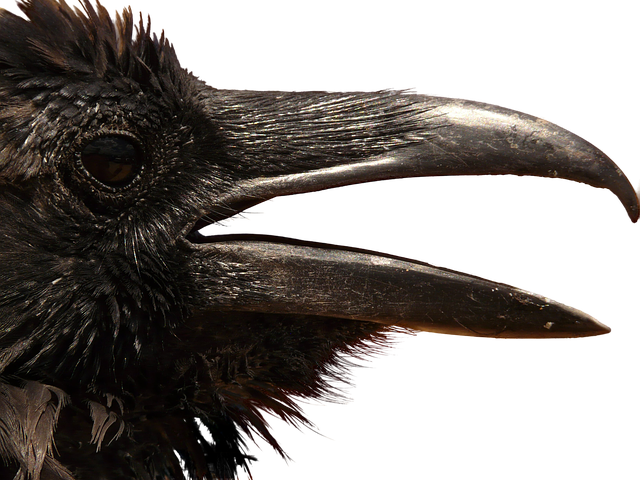 Raven, Png, Head, Clipping, Graphics, Animal