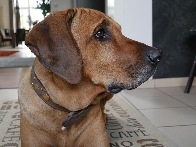 Rhodesian Ridgeback, Dog, Pet, Head, Brown, Dog Breed
