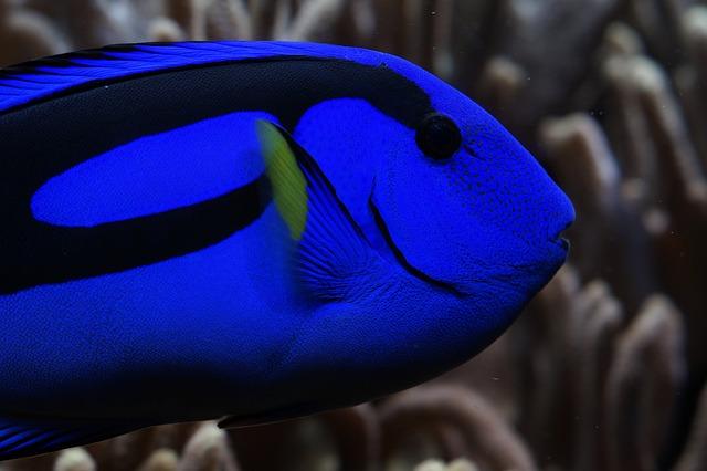Palette Surgeonfish, Surgeonfish, Blue, Bright, Head