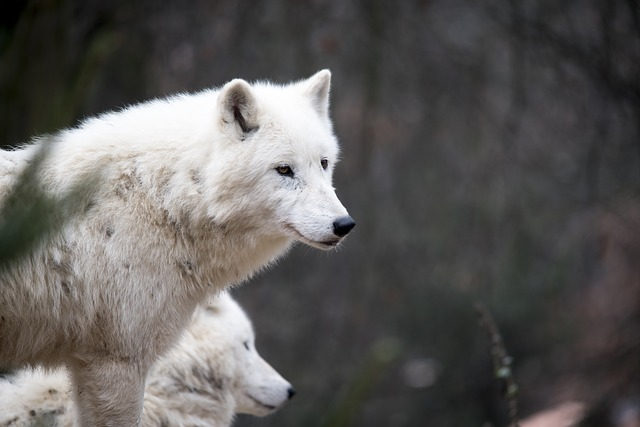 White Wolf, Wolf, Nature, Predator, Wildlife, Head