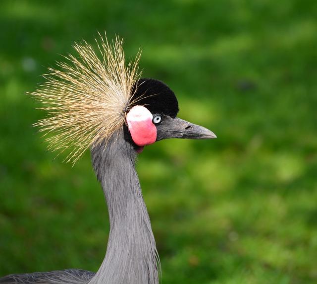 Grey Crowned Crane, Headdress, Animal World