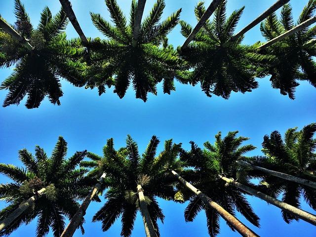 Heads Of Royal Palms, Rio, Jardim Botânico
