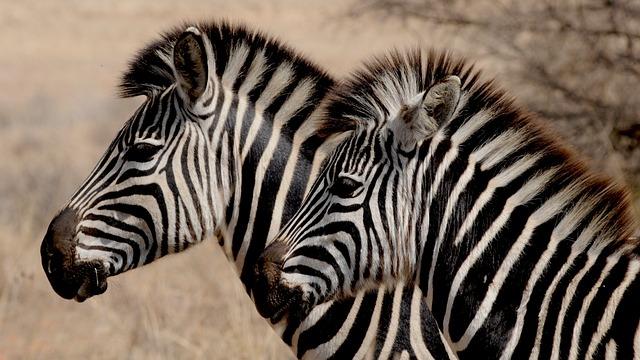 Zebras, Heads, Stripes, Striped, Equines, Wild, Animals
