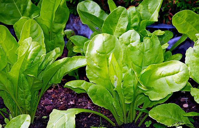 Chard, Young, Healthy, Vegetables, Tasty, Bio