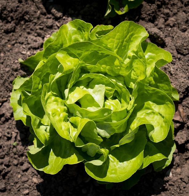 Salad, Lettuce, Spring, Bed, Healthy, Green, Nutrition