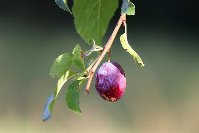 Plum, Prunus Domestica, Fruit, Blue, Violet, Healthy