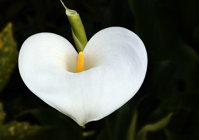Flower, Arum, Heart, Plant, White, Pistil