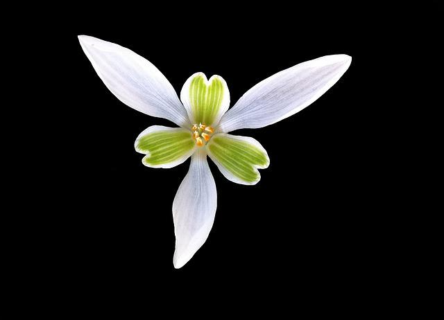 Perce-neige, Flower, Heart, Petal, Corolla