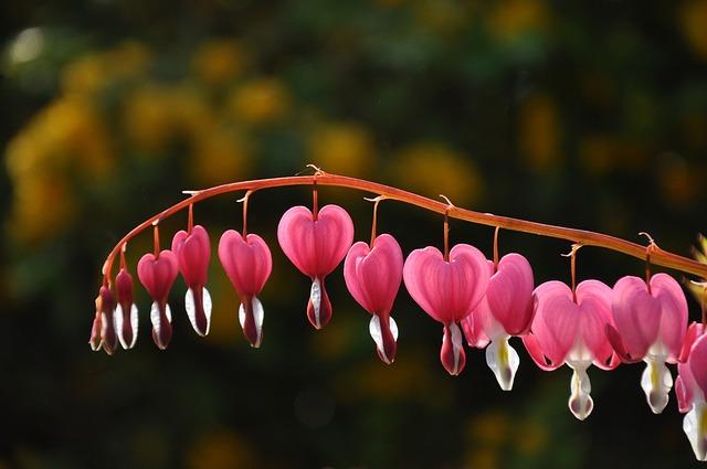 Heart Of Mary, Dicentra Spectabilis, Flower, Heart