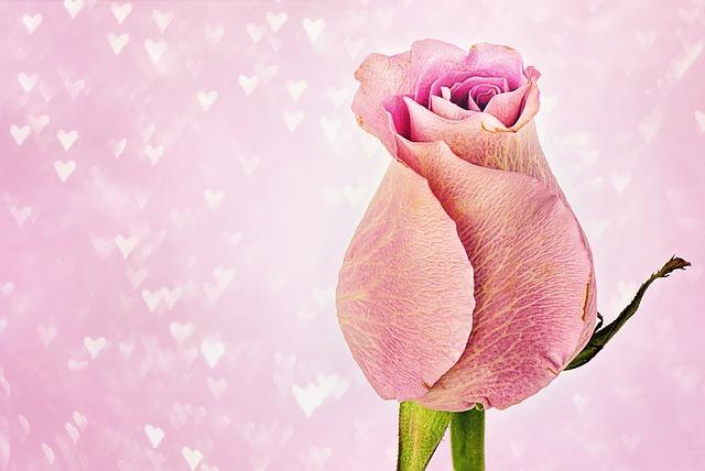 Rose, Hearts, Valentine's Day, Valentine Background