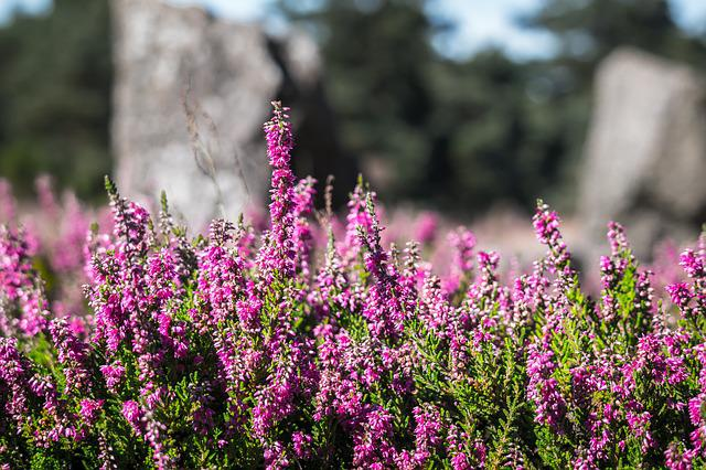 Heather, Heide, Erika, Flowers, Heathland, Pink, Purple