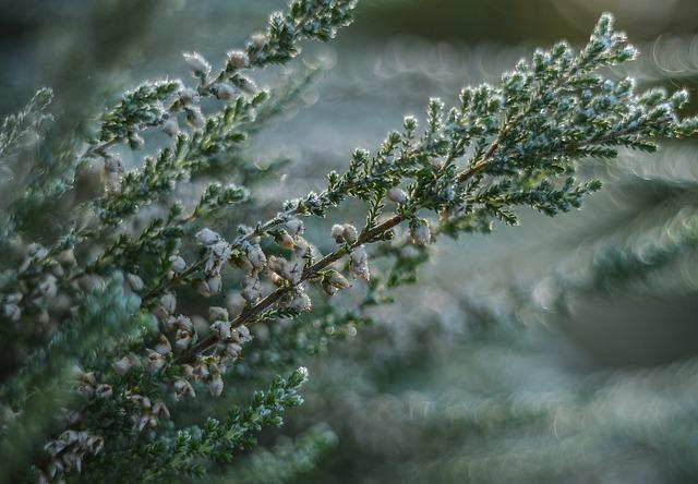 Heather, Frost, Plant, Thistle, Flower, Wild Plant