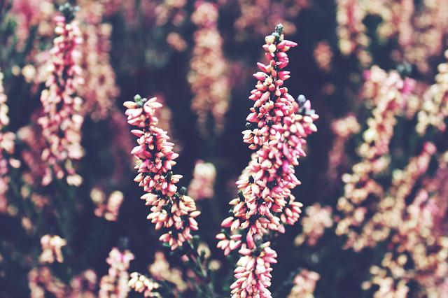 Heide, Heather, Nature, Heathland, Flowers, Pink