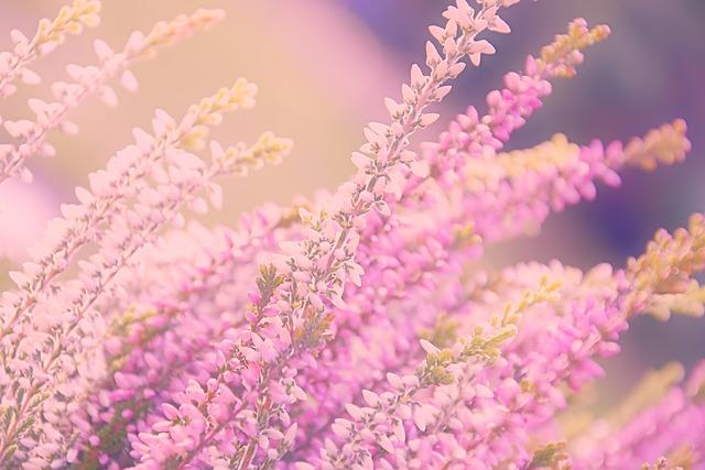 Heide, Heather, Ericaceae, Blossom, Bloom, Pink, Bloom
