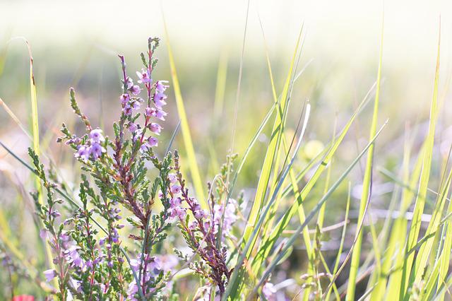 Heather, Flower, Plant, Nature, Close, Flowers