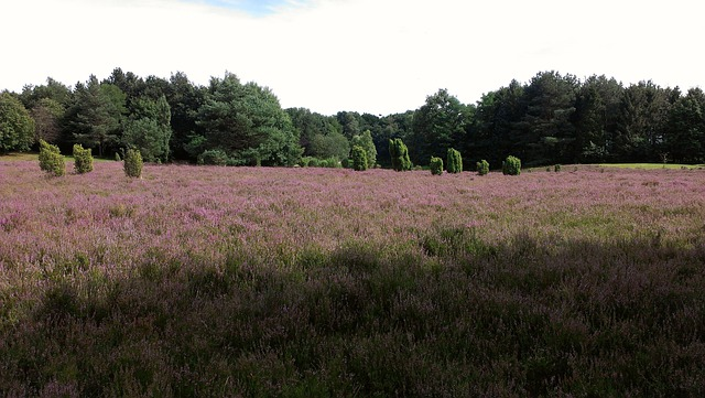 Heide, Heathland, August, Heidenfest, Heather