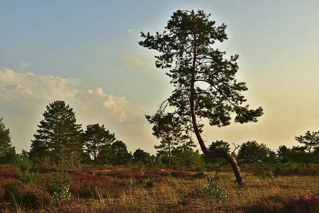 Pine, Tree, Conifer, Heathland, Heather, Erika, Heide