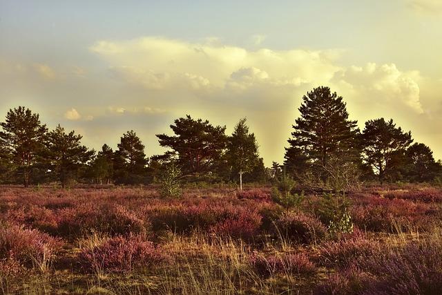 Heide, Heathland, Erika, Heather, Landscape