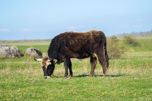 Tail Cattle, Heck Cattle, Urvieh, Nature, Reserve