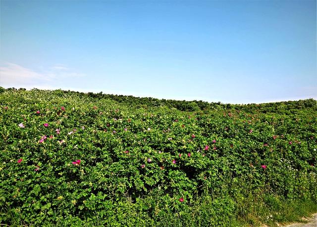 Roses, Wild Flowers, Dog Roses, Heck Roses, Dunes