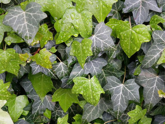 Ivy, Leaves, Wet, Plant, Pattern, Hedera, Hedera Helix
