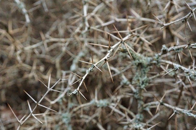 Thorns, Hedge, Pointed, Garden, Spiny, Leaves, Bush