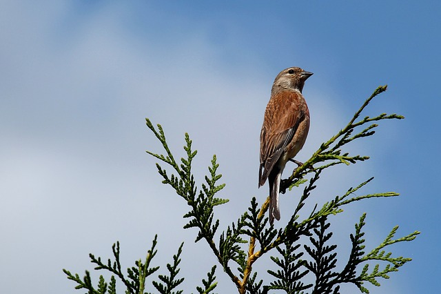 Hedge, Linnet, Bird, Songbird, Sperling