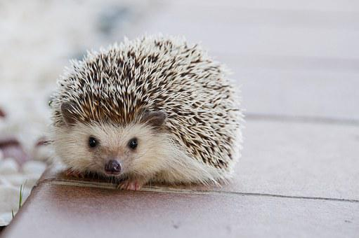 Hedgehog, Baby, Cute, Animal, Happy, Little, Nature