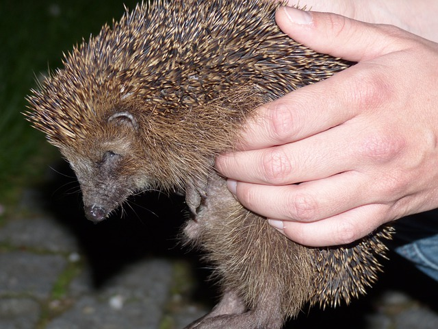 Hedgehog, Animal, Prickly, Keep, Hand, Lift, Hold Tight