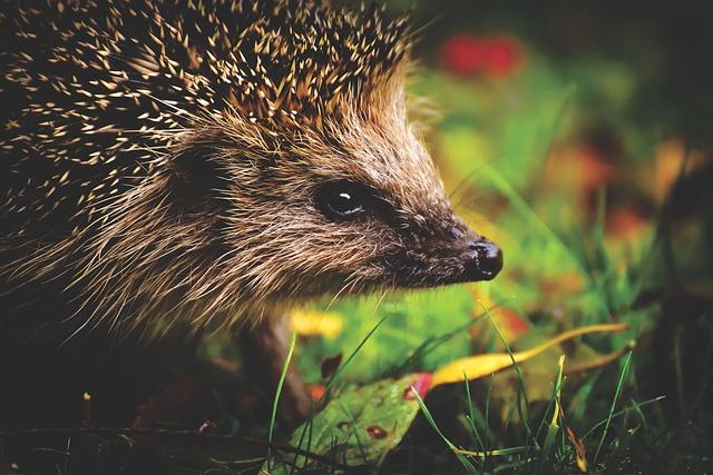 Hedgehog, Animal, Mammal, Prickly, Nocturnal