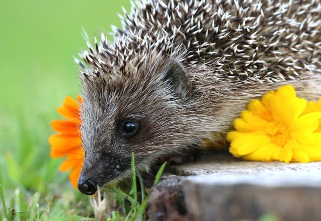 Hedgehog, Stump, Scratchy, Curiosity, Cute, Garden