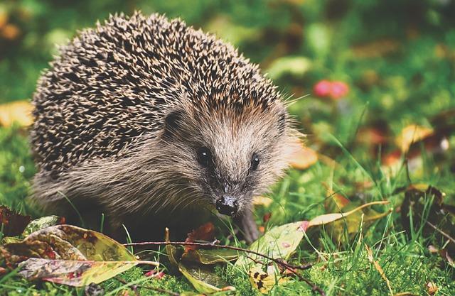 Hedgehog, Animal, Spur, Nature, Mammal, Hannah, Prickly