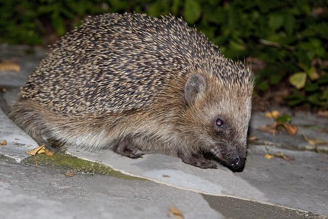 Hedgehog, Erinaceus Europaeus, Spur, Animal, Nature