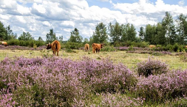 Cattle, Cows, Heide, Heather, Eifel, Drover Heath