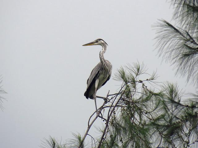 Heron, Bird, Height