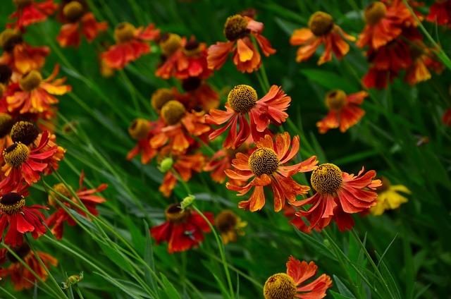 Sun Brews, Helenium, Composites, Garden