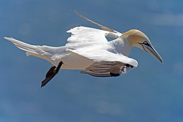 Northern Gannet, Sea Birds, Helgoland