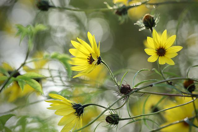 Helianthus, Helianthus Angustifolius, Sunflower