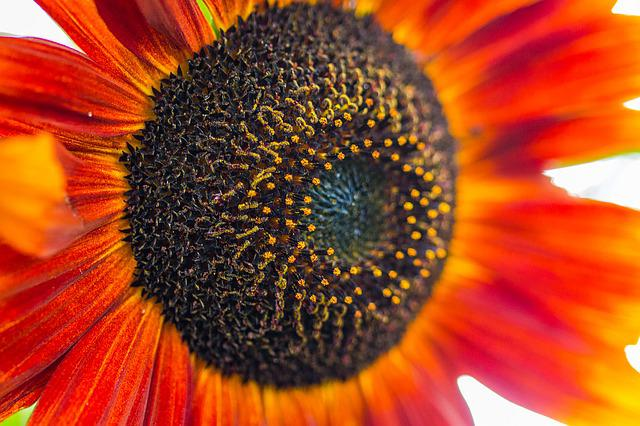 Sun Flower, Helianthus Annuus, Blossom, Bloom, Close